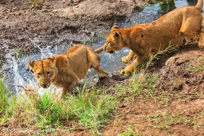 Lions jumps in water