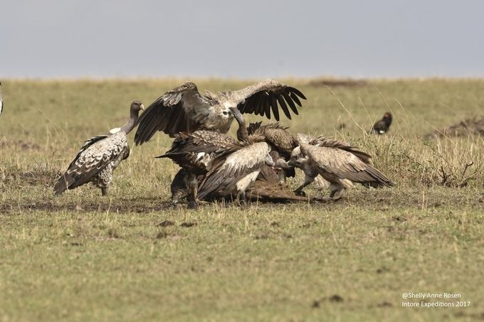 Vulture madness - Masai Mara, Kenya by ShellyRwanda - Food Chain Struggles Photo Contest