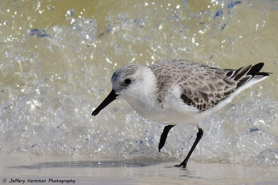 Little Stint in the surf