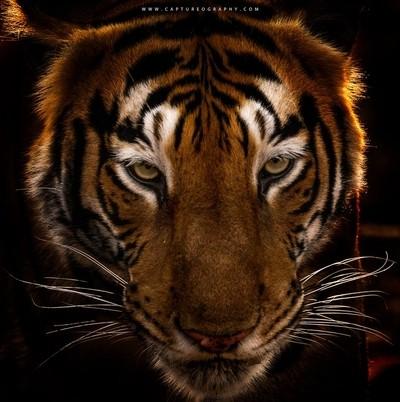 Tiger's Portrait