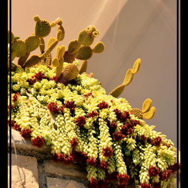 Varying Cacti at Kokarri, Samos.
