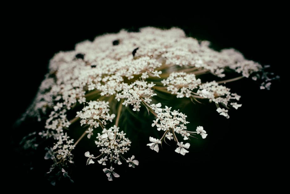 Another huge favorite wildflower of mine is Queen Anne's Lace.  This is a summer/autumn ...