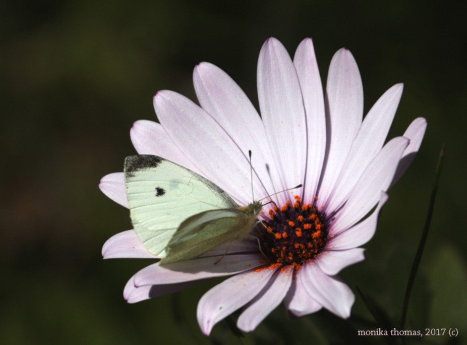 Spring Day (African Daisy with Butterfly)