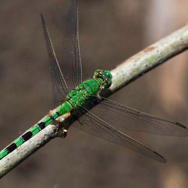 la pipilacha verde