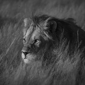 Lion from Kalahari. February this year