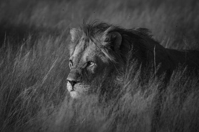 Kalahari Lion_WM_20170216-_V0I9492-Edit by wenchemyhre - Covers Photo Contest Vol 41