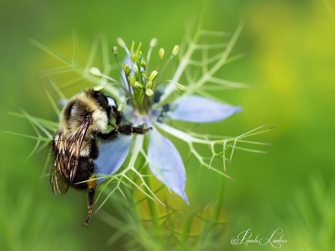 BEE BOMBER by PRL_NaturesMystique - Macro Games Photo Contest