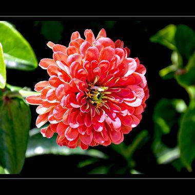 Flower in full bloom.