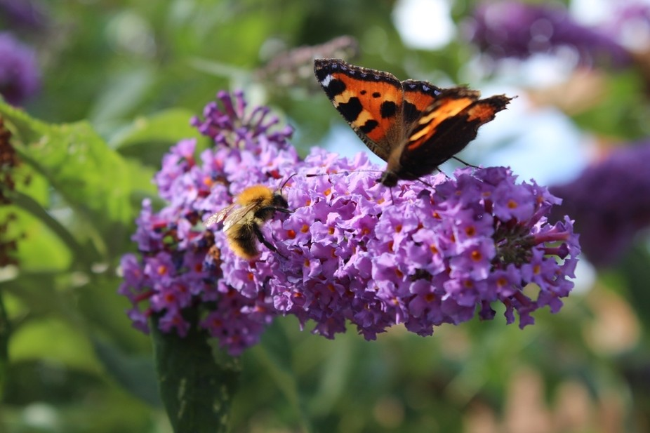 Small tortoiseshell butterfly and bee on buddliea