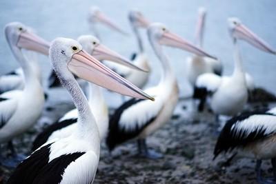 Colony of Pelicans