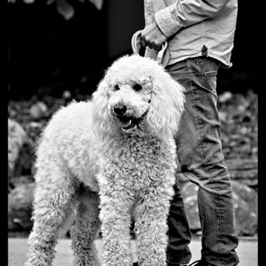 A rather large Poodle cross.