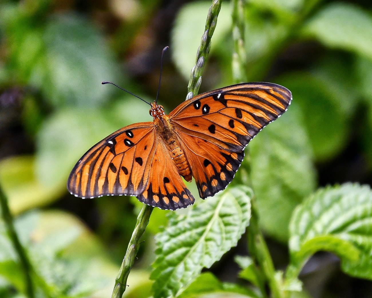 The Gulf fritillary occurs throughout the southern United States.  This photo was taken in a garden in Sarasota, Fl that contained purple passionflower vines, which are well liked by this species to lay their eggs.
