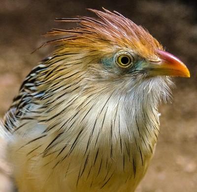 Guira Cuckoo Portrait