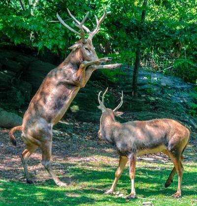 Pere David's Bucks Battling
