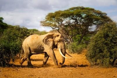 Tsavo Elephant