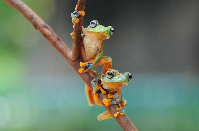 Flying Frog by andripriyadi - Macro Games Photo Contest
