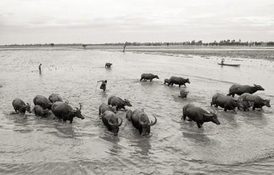 Herdsman and buffaloes