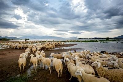 Sheep in An Hoa village