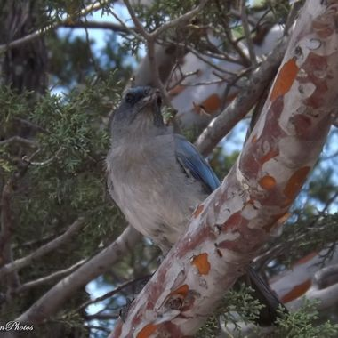 this Mexican Jay is a resident in the Chiricahua Mts. He attacks side mirrors and steals your crackers.