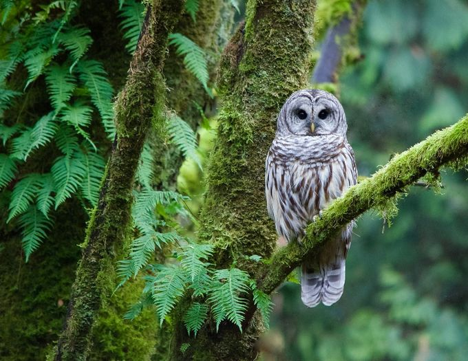 Barred Owl  by MitchellWentzell - Only Owls Photo Contest
