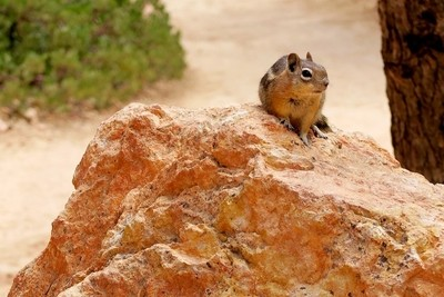 Ground Squirrel on Orange Rock