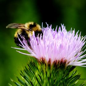 BUMBLE BEE collecting nectar from thistle plant flower