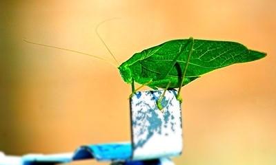 Leaf bug copy