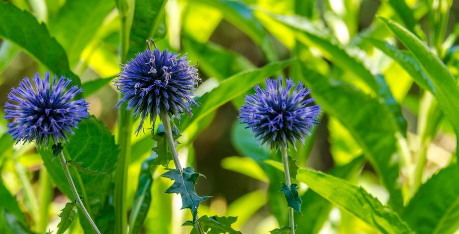 Blue Globe Thistle Flowers