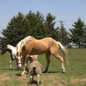 This is the first time that the horse Audi and pony Jewels were turned out in the pasture with our new addition Little Babe the sheep.Little Babe...