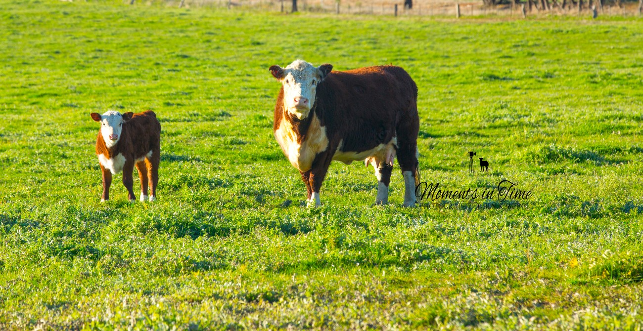 the very healthy hereford cow and her bright happy little calf.