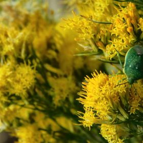 Green Bug in Flowers