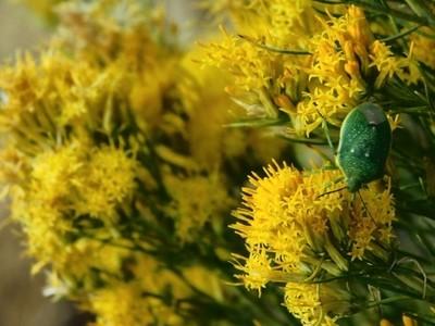 Green Bug in Flowers
