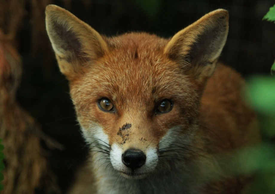 A male fox looking out from the undergrowth.