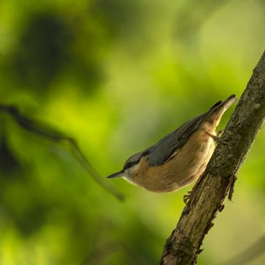 A Nuthatch in the woods