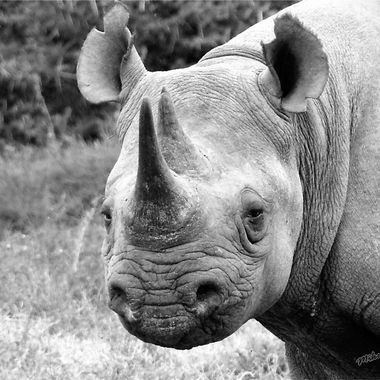 Black Rhino Alerted