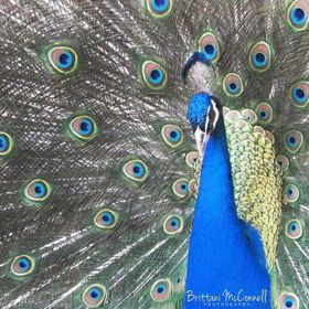 A photo of a Peacock at the Birmingham Zoo in Birmingham, AL.