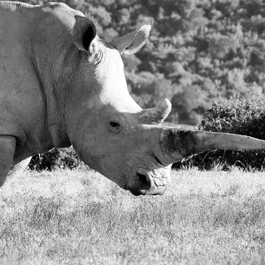 White Rhino with damaged horn