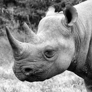 Black Rhino Dosing