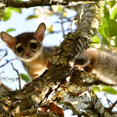 Ringtail cat in a pear tree, just outside my back door!   Nocturnal and in the raccoon family, caught this one at dawn just as the sun emerged, lighting him from behind.  D500 with Tamron 70-200mm G2.  Texas Hill Country.
