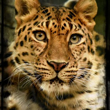 Mesmerizing Leopard at Dortmund Zoo, Germany.