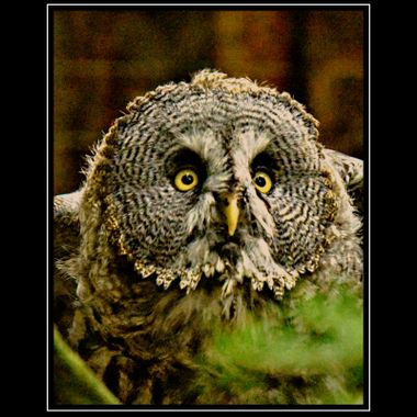 Owls face full on frontal.