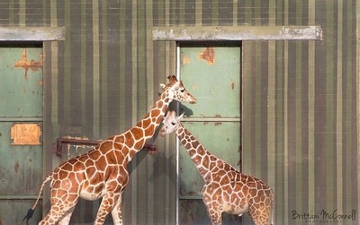 A momma and baby giraffe at the Birmingham Zoo.