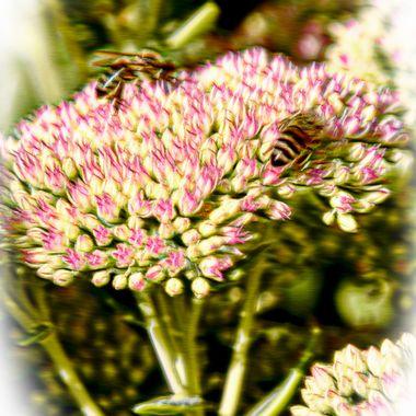 Bees on a pollen ripe flower head.