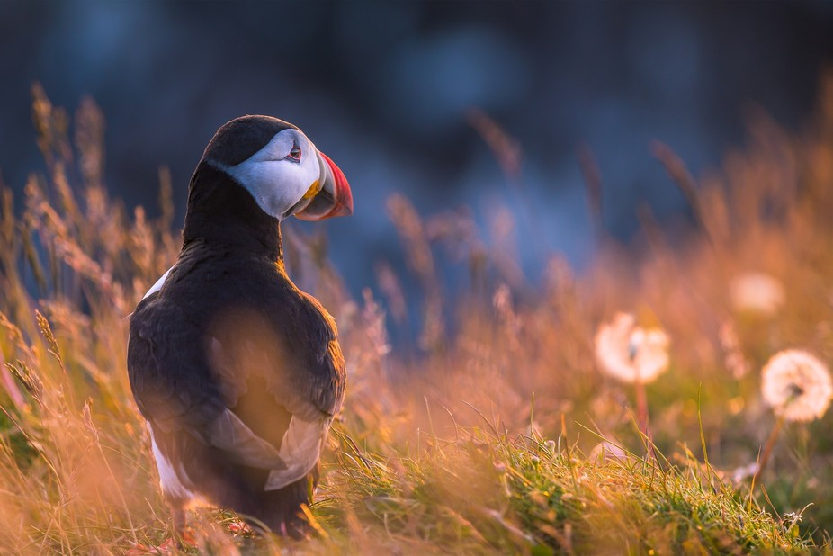 I encountered this litte Atlantic Puffin at the cliffs of Latrabjarg, Iceland during an amazing s...