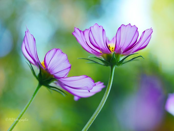 Cosmos bipinnatus by AnitaLPhoto - Macro And Patterns Photo Contest