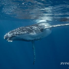 A playful humpback whale calf cruises by for a closer look. Ha'apai, Tonga.
