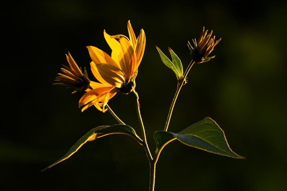 Yellow flowers are especially beautiful during the golden hour right before sunset.  Especially i...