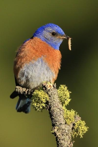 Male Western Bluebird with worm
