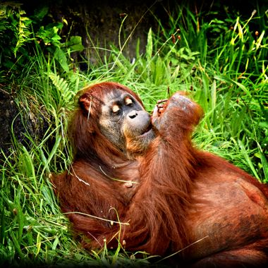 Male Orangutan chilling out.