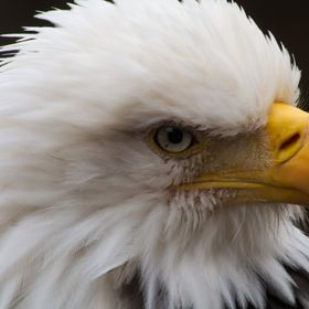 Bald Eagle Headshot
